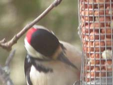 Woodpecker at Ailanbeg
